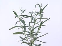 Rosemary stock foto's