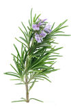 Rosemary Photo libre de droits