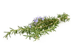 rosemary Obrazy Stock