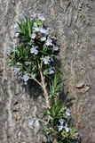 Rosemary. Wild spring rosemary branch against a tree trunk Royalty Free Stock Photo