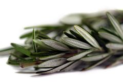 Rosemary. Fresh green herb rosemary on white background Stock Photos