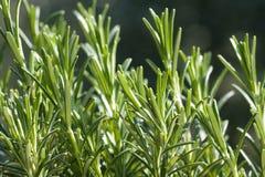 Rosemary. Close up of rosemary (rosmarinus officinalis Royalty Free Stock Images