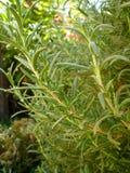 Rosemary-Anlage Lizenzfreies Stockbild