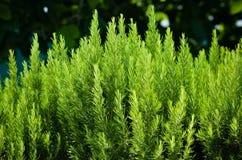 Rosemary arbustos Fotografia de Stock Royalty Free