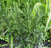 Rosemary aromatic herb in the garden Royalty Free Stock Photos