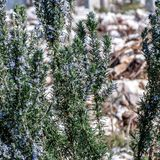 Rosemary as a spice and garden decoration royalty free stock image