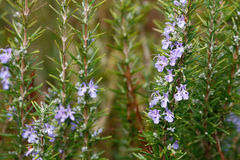 Rosemary avec la fleur Images stock