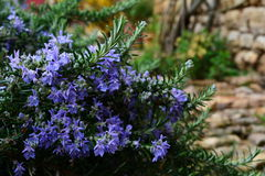 Rosemary avec les fleurs bleues Photo stock