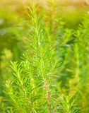 Rosemary background Royalty Free Stock Photography