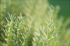 Rosemary Background Detail Royalty Free Stock Image