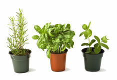Rosemary, Basil and Mint Royalty Free Stock Photography