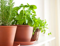 Rosemary, Basil and Mint in Pots Royalty Free Stock Images