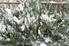 Rosemary-Baum bedeckt mit Schnee Lizenzfreie Stockfotografie