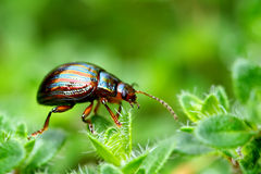 Rosemary beetle. A close-up shot of a rosemary beetle Royalty Free Stock Images