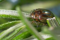 Rosemary beetle (Chrysolina americana) on foodplant Stock Photos