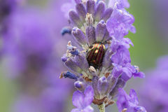 Rosemary Beetle (Chrysolina americana) on lavender Royalty Free Stock Photography