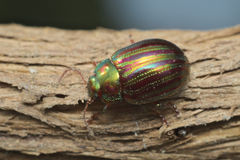 Rosemary beetle (Chrysolina americana) Royalty Free Stock Photos