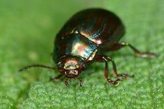 Rosemary beetle (Chrysolina americana) Royalty Free Stock Photo