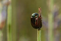 Rosemary Beetle Royalty Free Stock Images