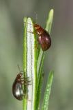 Rosemary beetles (Chrysolina americana) on foodplant Royalty Free Stock Photography