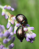 Rosemary Beetles Stock Images