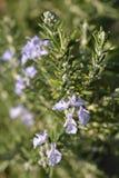 Rosemary bloem royalty-vrije stock foto