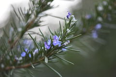 Rosemary in bloom. Italian rosemary in full bloom Royalty Free Stock Photography