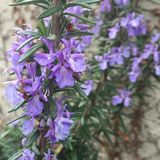 Rosemary blooming Royalty Free Stock Photography