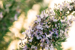 Rosemary blooming in spring Royalty Free Stock Image