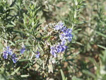 Rosemary blossom, selective focus. On the flower Royalty Free Stock Image