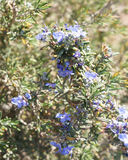 Rosemary blossom, selective focus. On the flower Stock Images