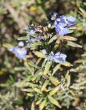Rosemary blossom, selective focus. On the flower Royalty Free Stock Images