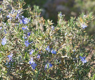 Rosemary blossom, selective focus. On the flower Royalty Free Stock Photography