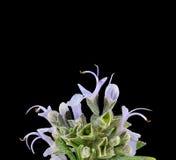 Rosemary blossoms Stock Photo