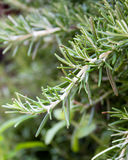 Rosemary branch Stock Photo
