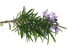 Rosemary branch Royalty Free Stock Images