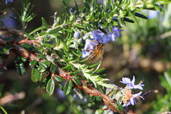 Rosemary branch with a bee Stock Photo