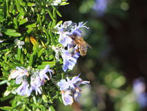 Rosemary branch with a bee Royalty Free Stock Photos