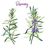 Rosemary branches with flowers, watercolour. Illustration, hand drawn stock illustration