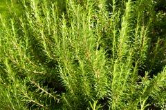 Rosemary bush Royalty Free Stock Photo