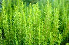 rosemary bush Стоковое фото RF