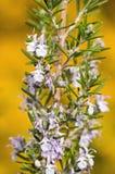 Rosemary bush Stock Photography
