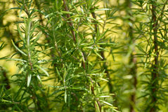 Rosemary bush Stock Image