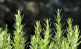 Rosemary Bush Stock Images