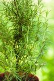 Rosemary bush close up Stock Image