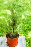 Rosemary bush close up Royalty Free Stock Photography