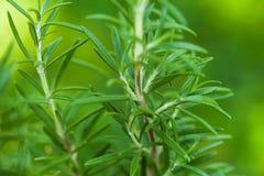 Rosemary bush Royalty Free Stock Photography