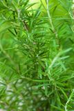 Rosemary bush. Close up the fresh leaves Stock Image