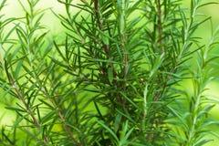 Rosemary bush Royalty Free Stock Images