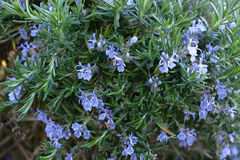 Rosemary. A Rosemary bush in flower stock photo